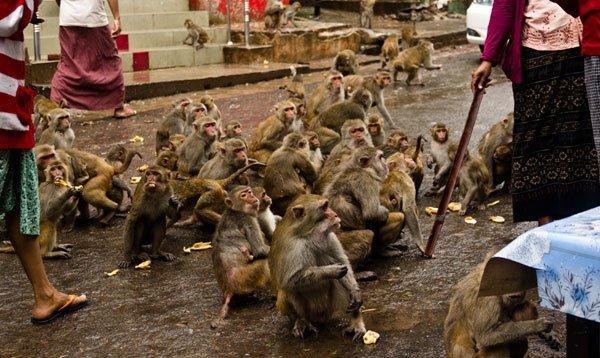 Difendersi dalle scimmie nel sud-est asiatico