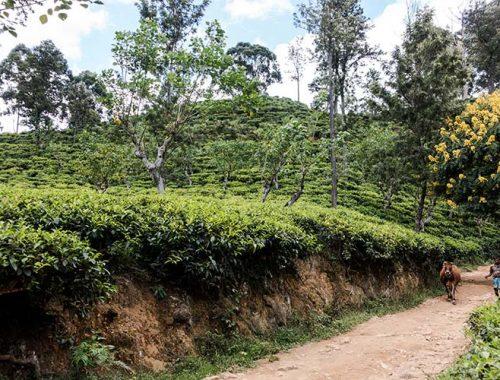 Produzione Tè Sri Lanka Oro Verde Ceylon