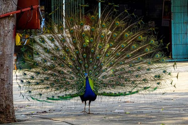 Dintorni Lopburi Thailandia Peacock Temple Lago Sublekreservoir