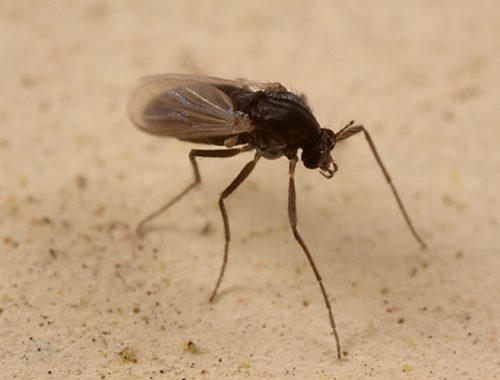 Cosa Sono Come Combattere Sand Flies Mosche Sabbia