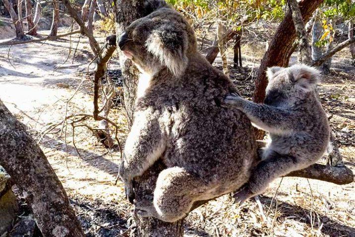 Guida-Magnetic-Island-Australia-Cosa-Fare-Isola-Koala-Wallabies